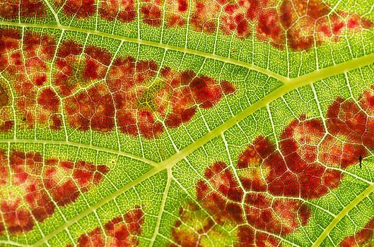 Vine leaf close-up by Pete Hemington