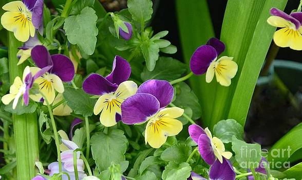 Vine Of Pansies by Kathleen Struckle