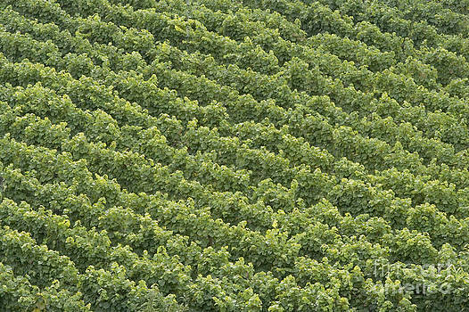 Vinschgau Vineyard by Alex Rowbotham
