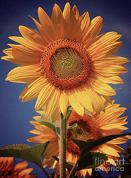 Vintage Style Sunflower Series 2 by Joseph Desmond