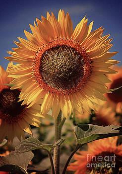 Vintage Style Sunflower Series 4 by Joseph Desmond