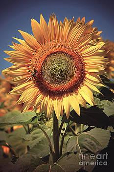 Vintage Style Sunflower Series 5 by Joseph Desmond