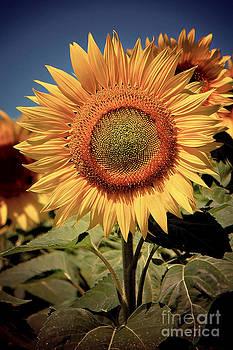 Vintage Style Sunflower Series 7 by Joseph Desmond