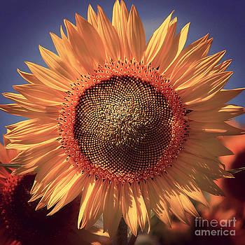 Vintage Style Sunflower Series 8 by Joseph Desmond