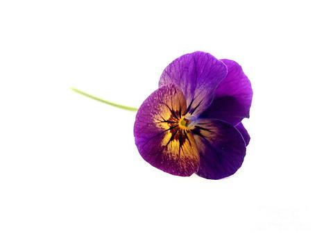 Viola by Phil Paynter