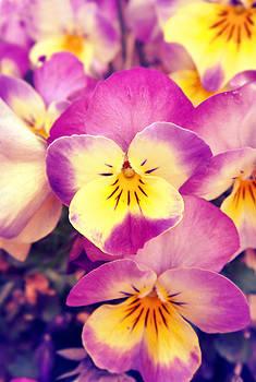 Violas by Victoria  Kostova
