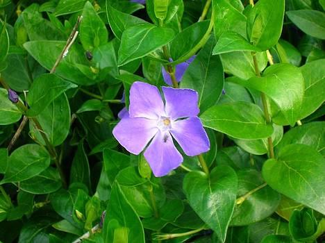 Tracey Harrington-Simpson - Violet Herbaceous Periwinkle