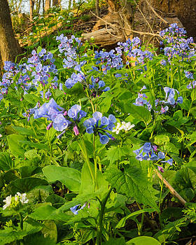 Virginia Bluebells by Thomas Pettengill