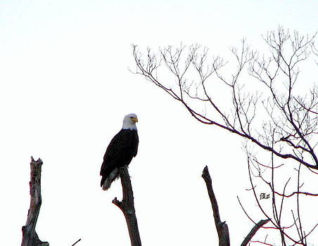 Visiting Bald Eagle by June Lambertson