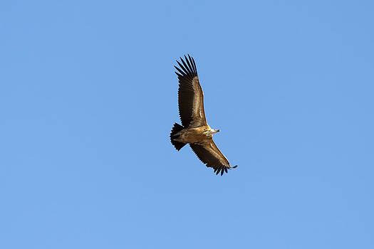 Vulture by Goyo Ambrosio
