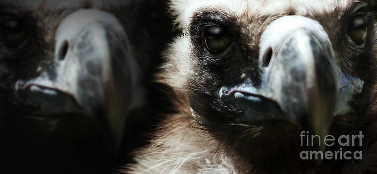 Vultures by Christine Sponchia