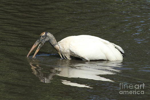 Wading Stork by Theresa Willingham