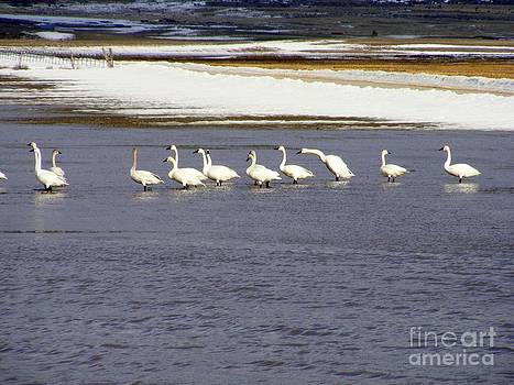 Wading Swans 2 by Woody Wilson