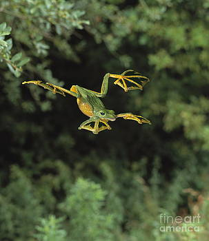 Stephen Dalton - Wallaces Flying Frog
