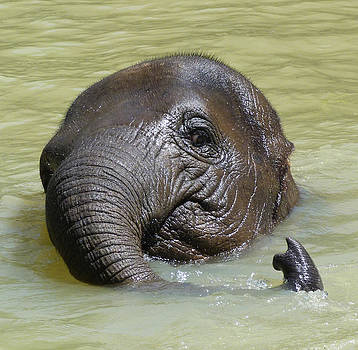 Margaret Saheed - Watch My Trunk - Young Asian Elephant