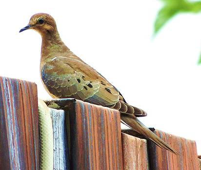Watchful Dove by Helen Carson