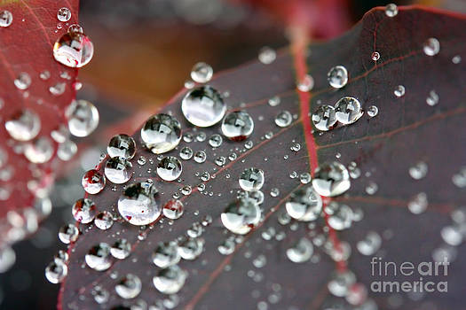 Simon Bratt Photography LRPS - Water drops on Cotinus
