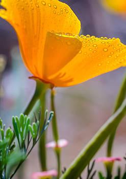 Water Drops on Poppy by Janice Sullivan