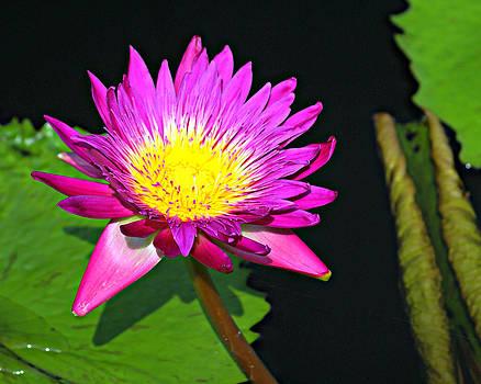 Marty Koch - water flower 10089