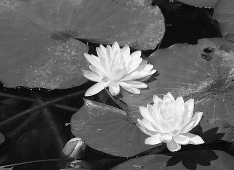 Water Lilies and Bud by Sharon McLain