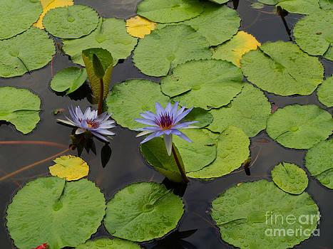 Water Lilies by Carolyn Burns Bass