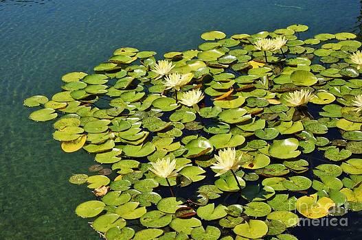 Water Lilies by Valerie Beasley