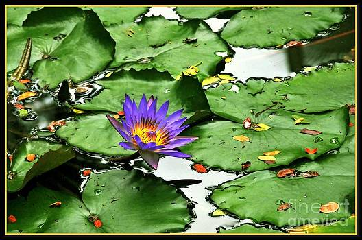 Water Lily Adagio by Hans R Hemken