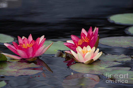 Water Lily IV by Ursula Lawrence