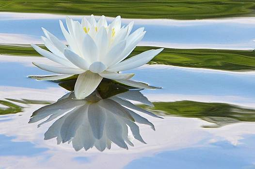 Water Lily by Lisa Plymell