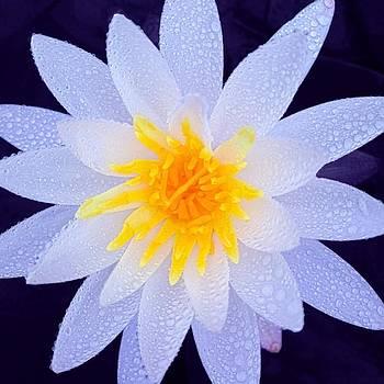 Water Lily by Rachel E Moniz