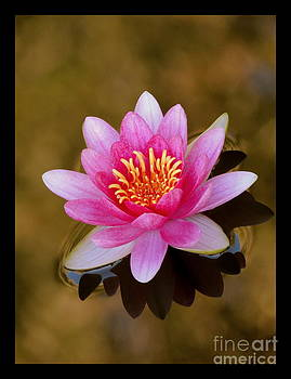 Waterlily Among Gold by Kim Doran
