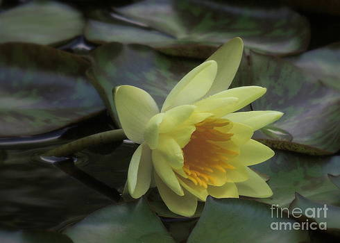 Waterlily At Rest by Kim Doran