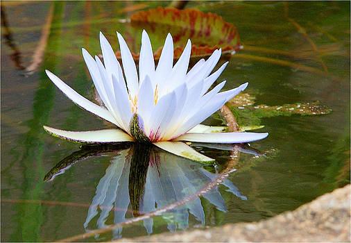 Waterlily Reflection by Judith Meintjes