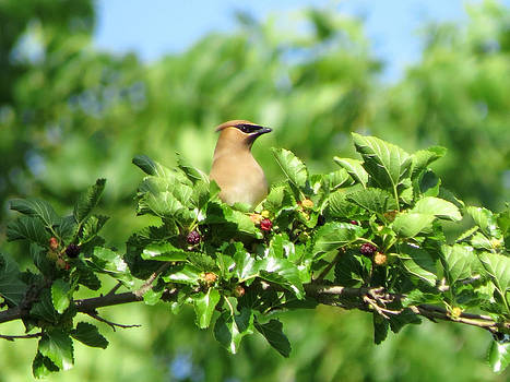 Waxwing on a Branch by Kimberly Mackowski
