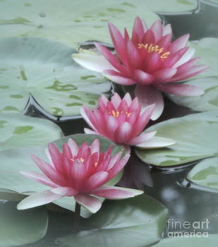 We Three Waterlily by Kim Doran