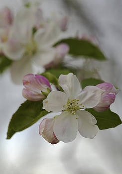 Welcome Spring - apple blossoms by Jane Eleanor Nicholas