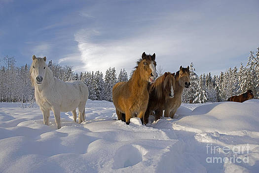 Rolf Kopfle - Welsh Ponies In Deep Snow