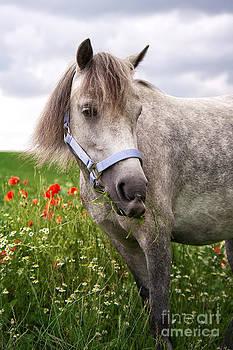 Angela Doelling AD DESIGN Photo and PhotoArt - Welsh Pony Lulu