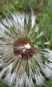 Wet Dandelion by Courtnee Epps