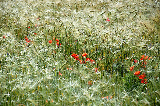 Wheat and Poppy Field by Norman Hall
