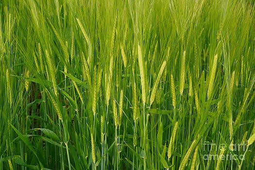Wheat ears by Tomaz Kunst