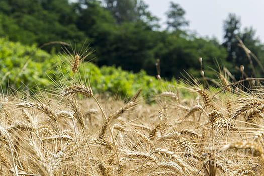 Wheat by Stefano Piccini