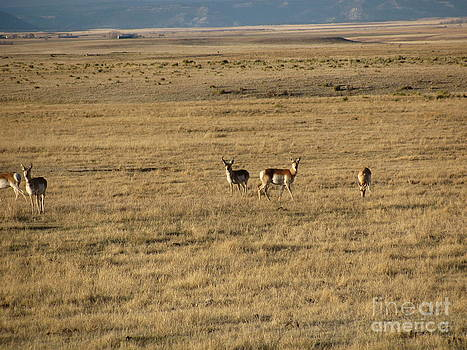 Where the Antelope Roam by Cres Archuleta