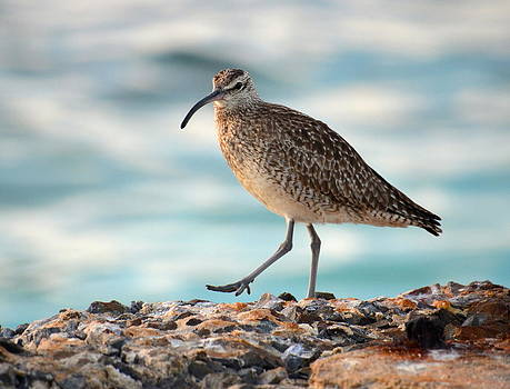 Whimbrel by Amber Bobbitt