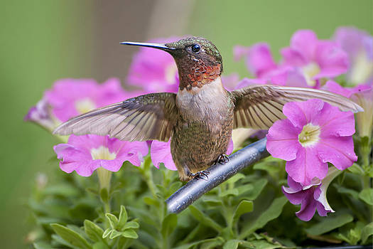 Whir of Hummingbird Wings by Bonnie Barry