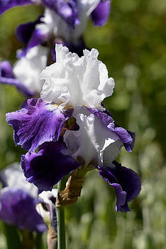 Kae Cheatham - White and Purple Iris
