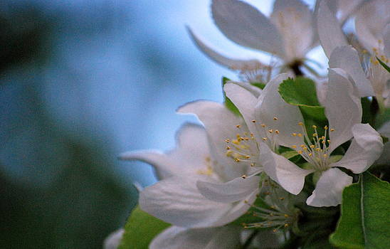 White Blooms by Amee Cave