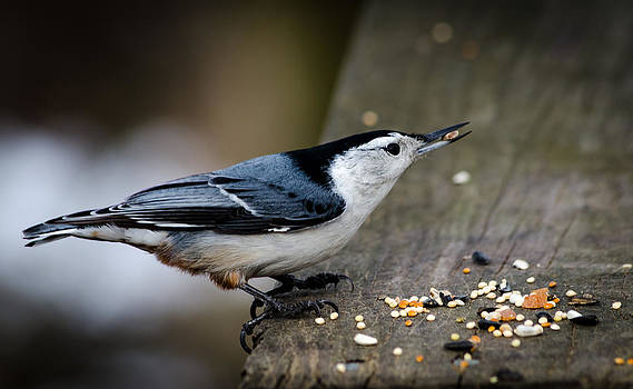 White Breasted Nuthatch by Anthony Morganti