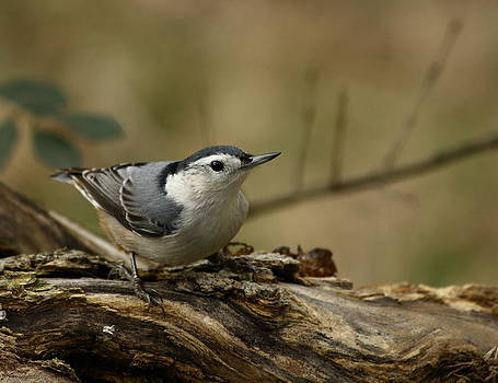 White-breasted Nuthatch by Jim Johnson