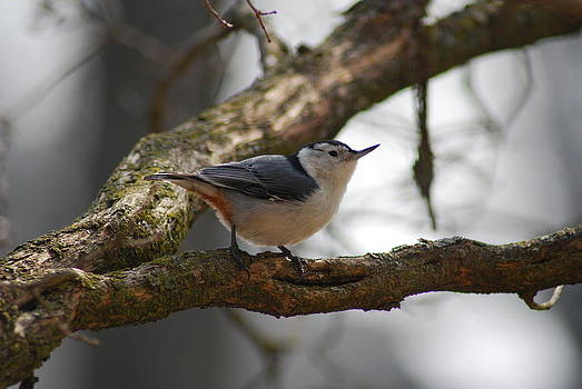 White Breasted Nuthatch by Wanda Jesfield